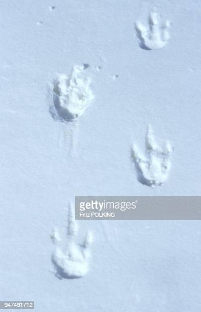Manchot empereur Traces de pattes sur la glace DawsonLambton Glacier Mer de Weddell Antarctique