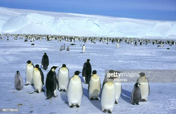 Manchots empereur sur le Glacier DawsonLambton Mer de Weddell Antarctique