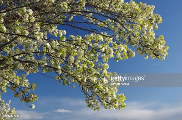 manchurian pear tree in bloom - 満州地方 ストックフォトと画像