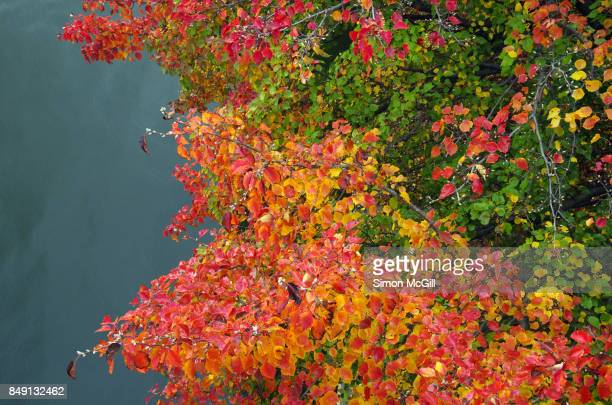 Manchurian pear tree (Pyrus ussuriensis) over Lake Burley Griffin during Autumn in Canberra, Australian Capital Territory, Australia