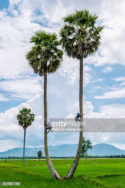 Manclimbing up a palm trees againts blue sky