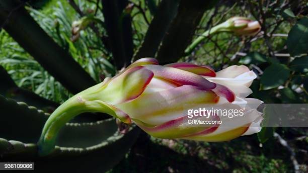 mandacaru (cereus jamacaru) flower. - crmacedonio stock photos and pictures