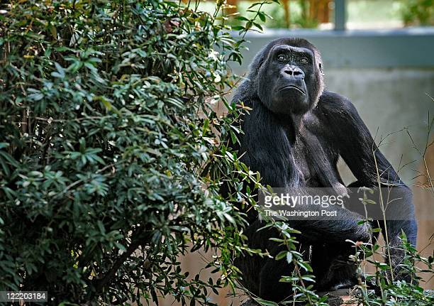 Mandara the gorilla who snatched up her baby and fled to safety moments before yesterday's earthquake struck at the National Zoo on August 2011 in...