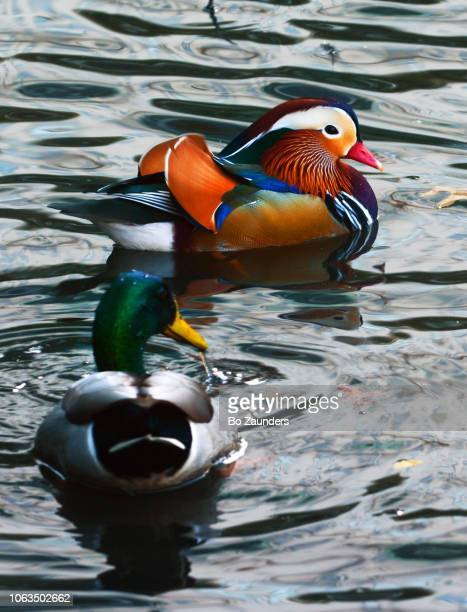 Mandarin and Mallard ducks in the Pond, in Central Park, New York City.or