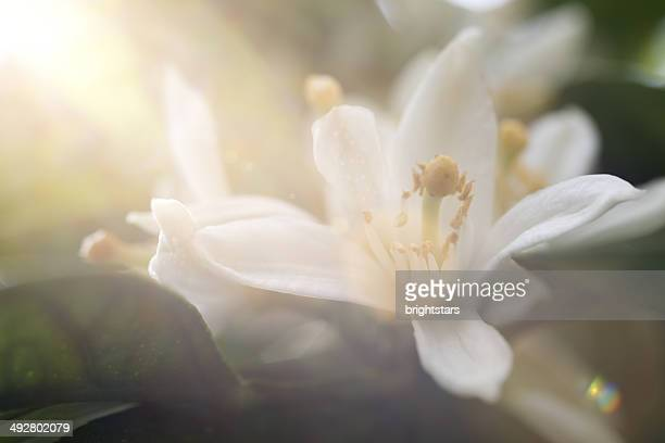 mandarin blossoms - orange blossom stock photos and pictures