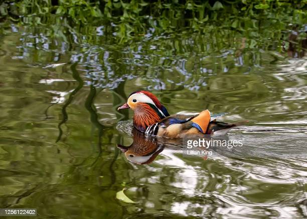 mandarin drake - drake stock pictures, royalty-free photos & images