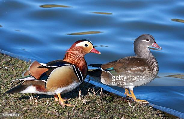 mandarin duck - aix galericulata - animal macho fotografías e imágenes de stock
