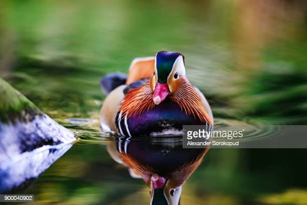 a mandarin duck, aix galericulata, swimming in a small pond. swiss - duck bird stock pictures, royalty-free photos & images