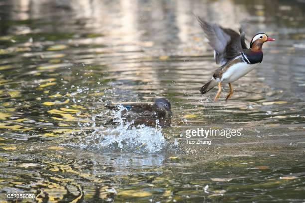 Mandarin duck flying on the Yuanyang lake at Zhaolin Park on October 17 2018 in Harbin ChinaThe annual migration of Mandarin duck will migrate to...