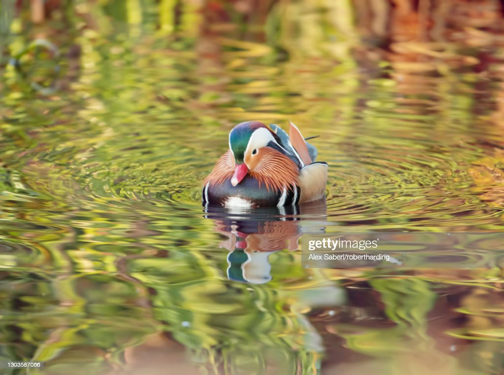 A mandarin duck (Aix galericulata) glides through the water in a reflective and colourful pond in Richmond Park, Richmond, Greater London, England, United Kingdom, Europe : Stock Photo