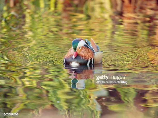 a mandarin duck (aix galericulata) glides through the water in a reflective and colourful pond in richmond park, richmond, greater london, england, united kingdom, europe - alex saberi stock-fotos und bilder