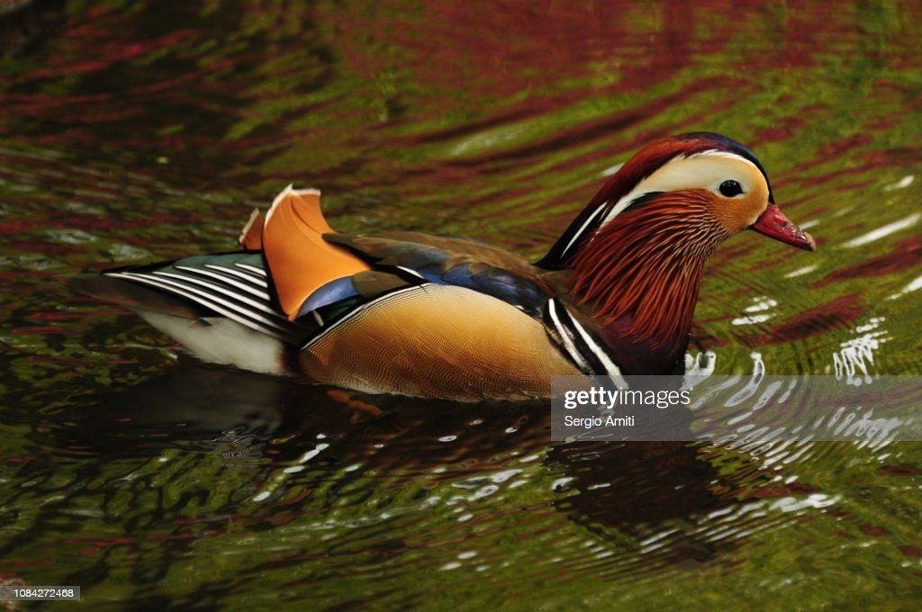 Mandarin duck in a pond : Stock Photo