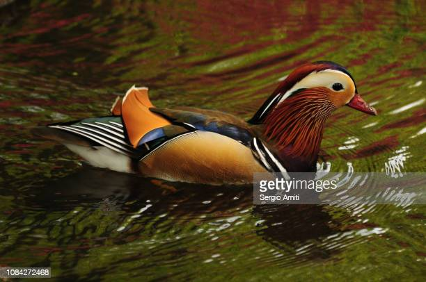 Mandarin duck in a pond