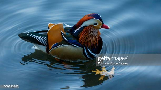 Mandarin Duck is seen swimming in the New York's Central Park Drawing Crowds on November 8 2018 in New York City The Mandarin duck is commonly seen...