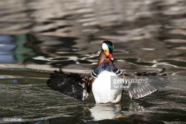Mandarin duck landing on the Yuanyang lake at Zhaolin Park on October 17 2018 in Harbin ChinaThe annual migration of Mandarin duck will migrate to...