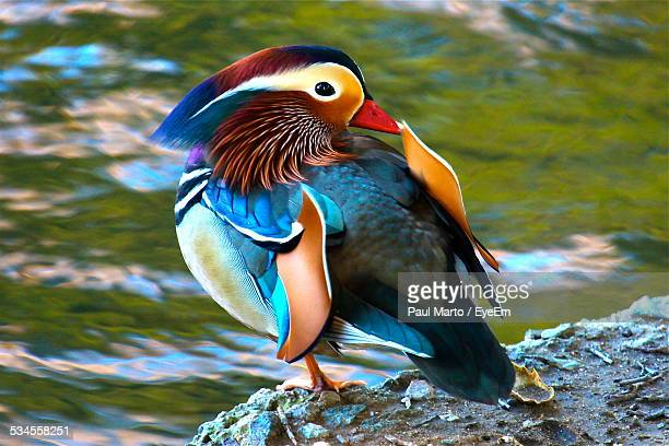 mandarin duck on stone by lakeshore - duck bird stock photos and pictures