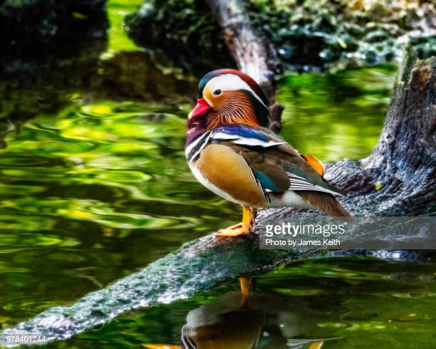 a mandarin duck perches on a log overlooking a pond. - exotic_species stock pictures, royalty-free photos & images