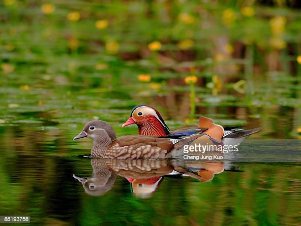 mandarin duck - male animal stock pictures, royalty-free photos & images