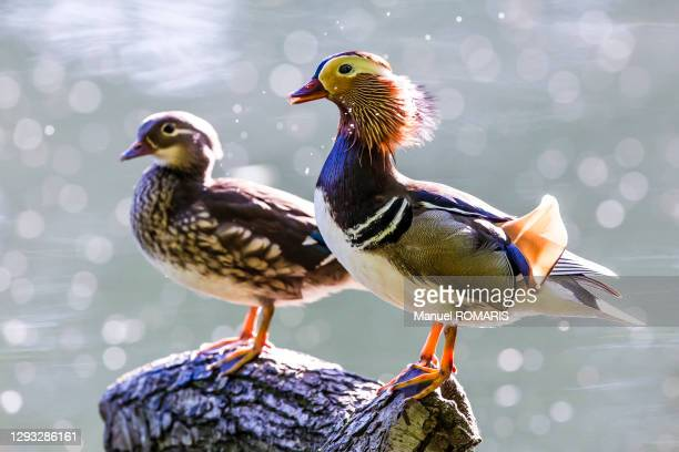 mandarin duck, sonian forest, brussels - capital region stock pictures, royalty-free photos & images