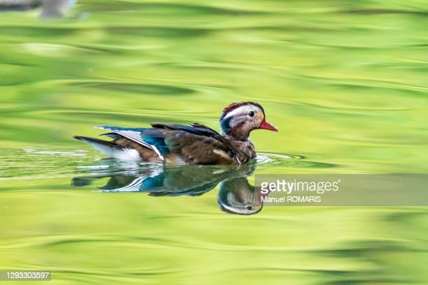 mandarin duck, sonian forest - capital region stock pictures, royalty-free photos & images