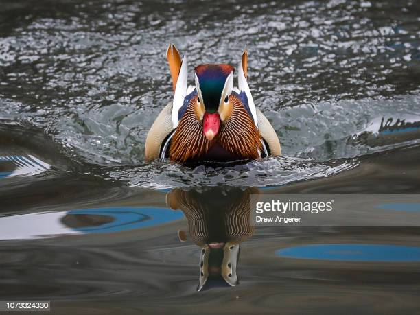 Mandarin duck swims in a Central Park pond December 14 2018 in New York City The duck native to East Asia has captured the attention of New Yorkers...