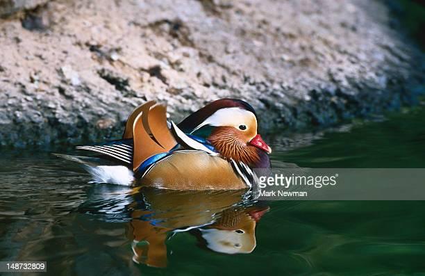Mandarin duck (Aix galericulata), Wildlife World Zoo.