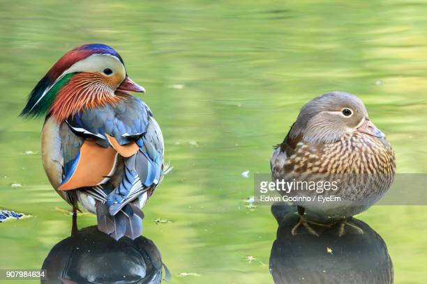 Mandarin Ducks In Lake
