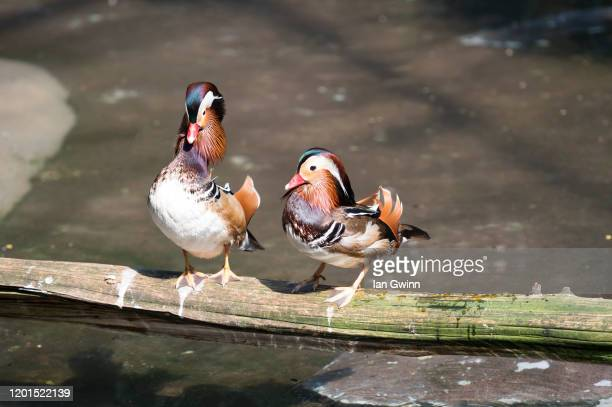 mandarin ducks on log_1 - ian gwinn - fotografias e filmes do acervo