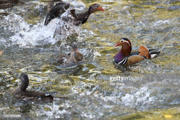 Mandarin ducks on the Yuanyang lake at Zhaolin Park on October 17 2018 in Harbin ChinaThe annual migration of Mandarin duck will migrate to Southern...