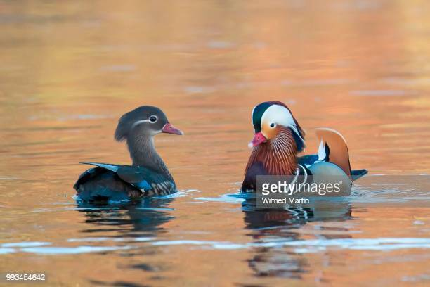 Mandarin Ducks (Aix galericulata), pair in courtship display, Hesse, Germany