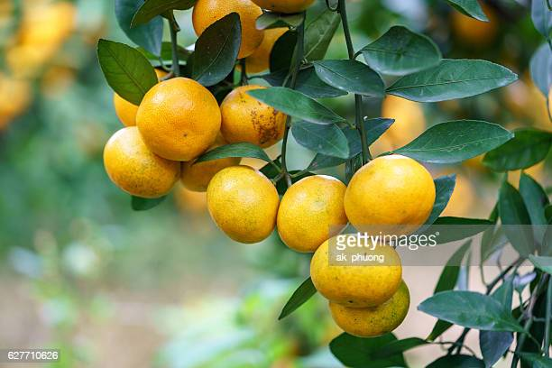mandarin fruit - fruit laden trees stock pictures, royalty-free photos & images