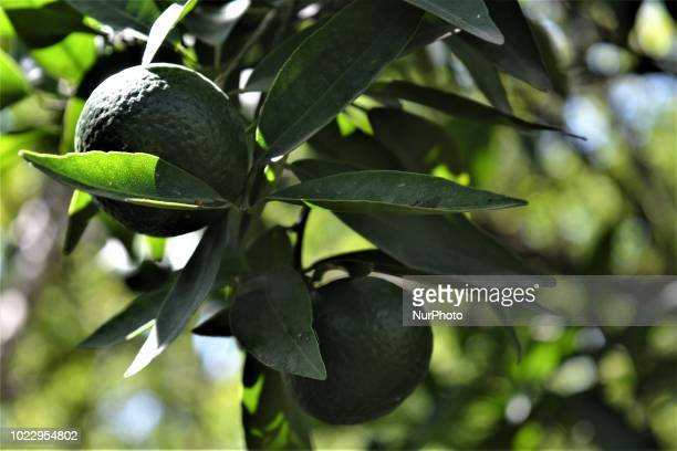 A mandarin orange fruit is pictured on a field at a village on the third day of Eid alAdha in southern Hatay province of Turkey on August 23 2018...
