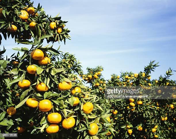 mandarin orange orchard. fukawa, kanagawa prefecture, japan - kanagawa prefecture stock pictures, royalty-free photos & images