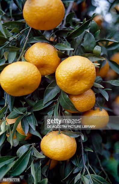 Mandarin orange , Rutaceae.