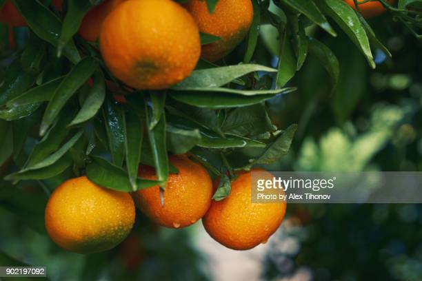 mandarin orange tree - citrus fruit stock pictures, royalty-free photos & images