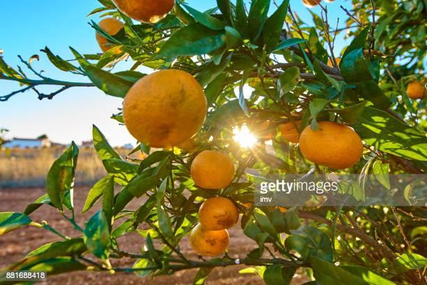 Mandarines au coucher du soleil un après-midi venteux à Valence