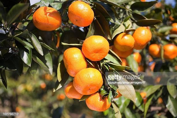 mandarin tree in odawara, kanagawa prefecture, japan - plusphoto stock pictures, royalty-free photos & images