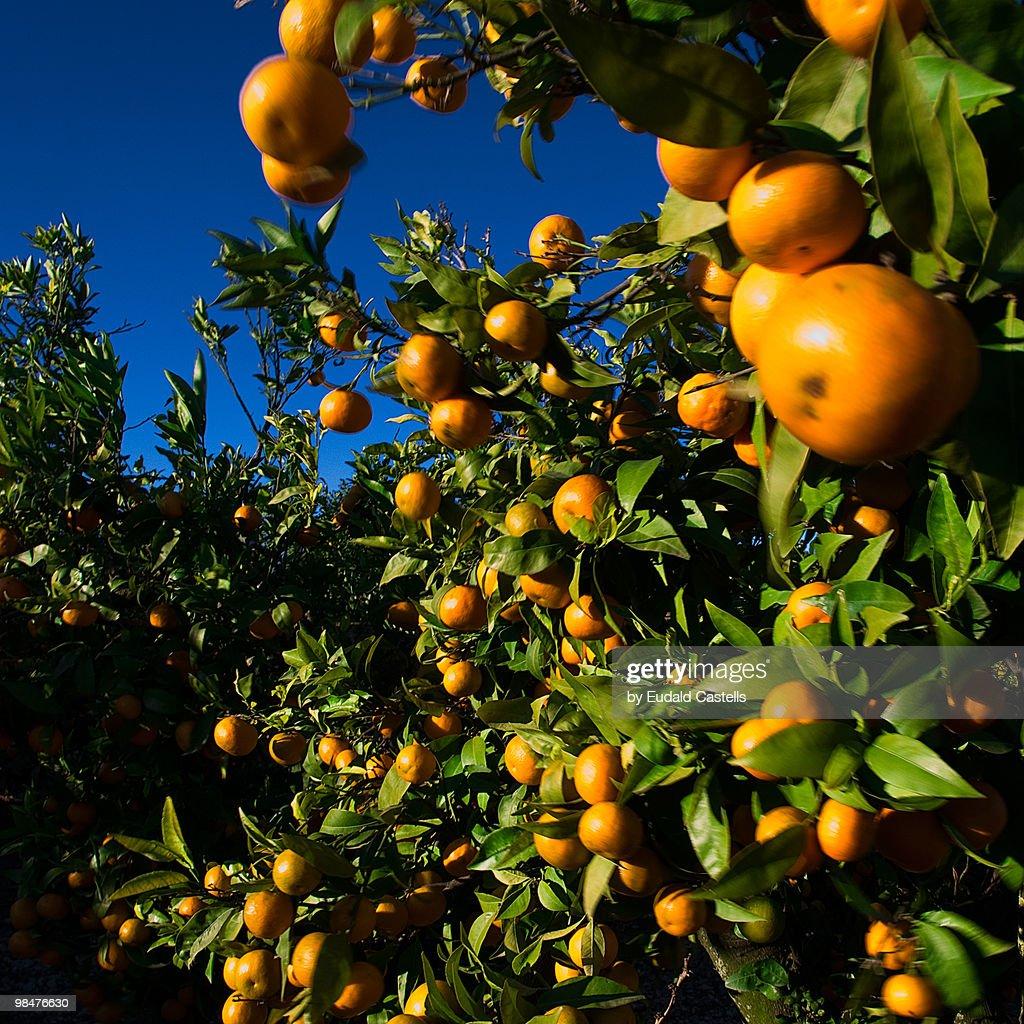 Mandarines : Stock Photo