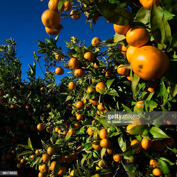 mandarines - orange orchard stock photos and pictures