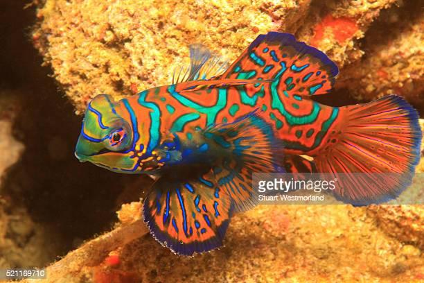 Mandarinfish near a coral reef