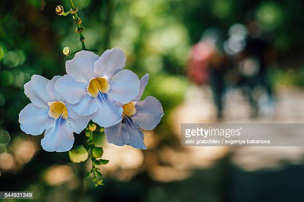 Mandevilla Flowers