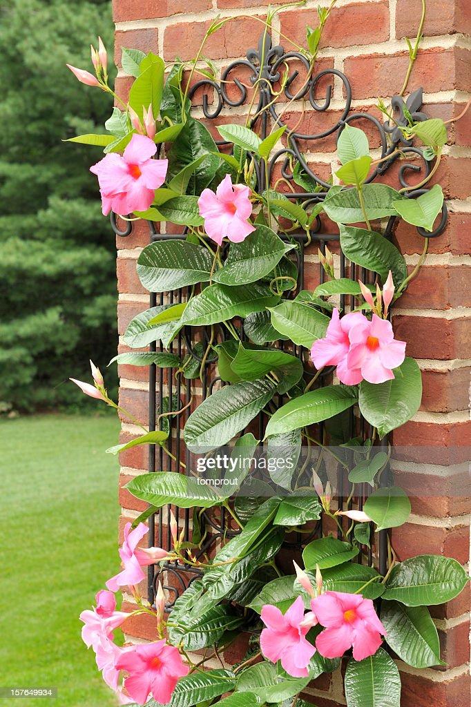 Mandevilla Plant Against a Brick Wall : Stock Photo