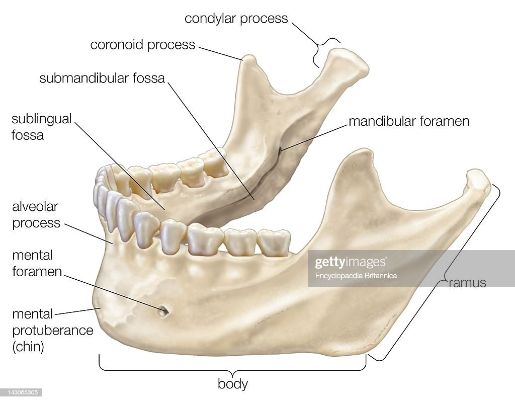 Lower Jaw Diagram - Wiring Source •