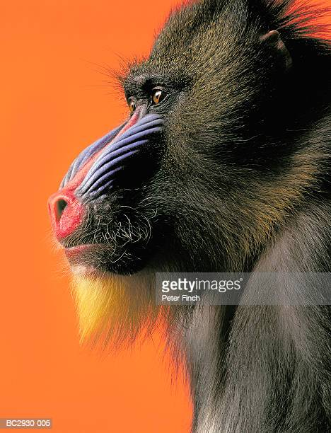 mandrill (papio sphinx) against orange background, close-up - baboon stock photos and pictures
