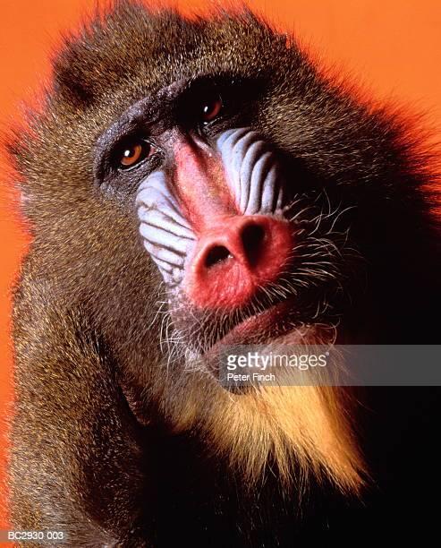 mandrill (papio sphinx) against orange background, head-shot - primate stock pictures, royalty-free photos & images