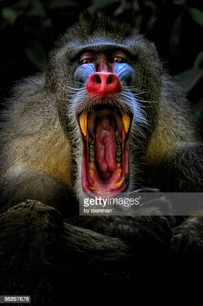 mandrill, captive - baboon stock photos and pictures