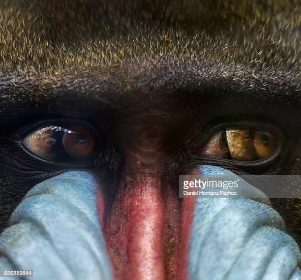 Mandrill eyes close up. Mandrillus sphinx