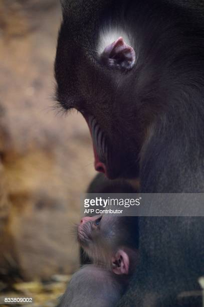 A mandrill holds her newborn baby on August 17 2017 at the zoological park in Amneville eastern France / AFP PHOTO / JEANCHRISTOPHE VERHAEGEN