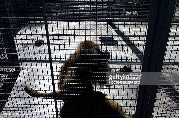 A mandrill in its cage at Villa Fantasia zoo in the Zapopan municipality metropolitan area of Guadalajara Mexico on August 15 2012 The beast was...