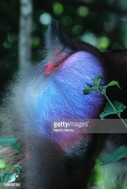 Mandrill Mandrillus sphinx Rainforest Species. Endangered. Camaroon and Gabon. Rump of Male, close-up, bright blue coloring. -